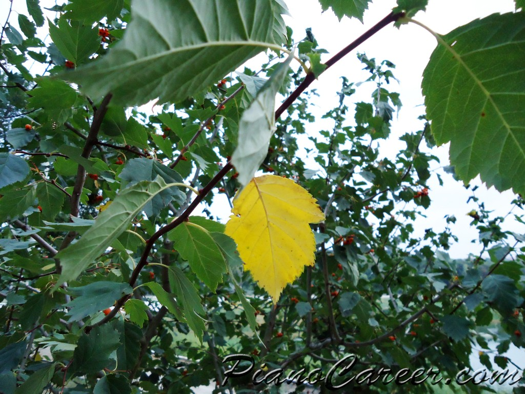 yellowing leaf on a branch in September - Copyright PianoCareer.com